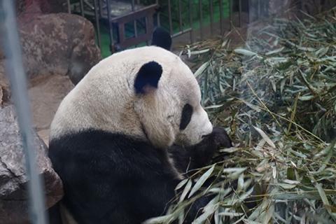 jn_Beijing_Panda