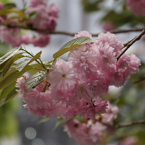 mc_cherry-blossom